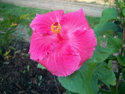 Subtropicals hibiscus old frankie big flat vivid pink flowers low compact shrub mightylinksfo
