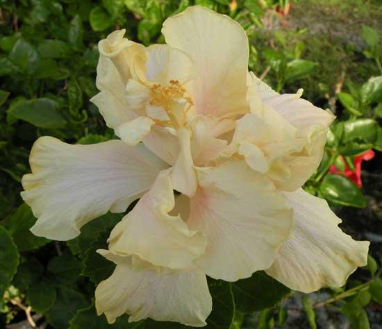 Subtropicals Hibiscus